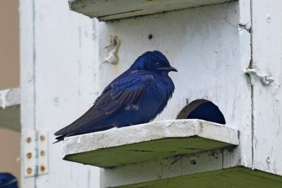 Purple martin JoelTrick 26 April 2017b