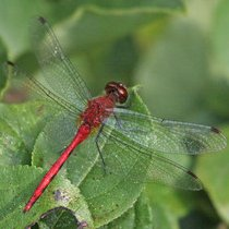 Ruby Meadowhawk