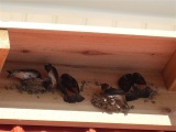 Cliff Swallows-05
