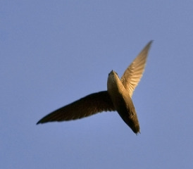 chimney swift 2