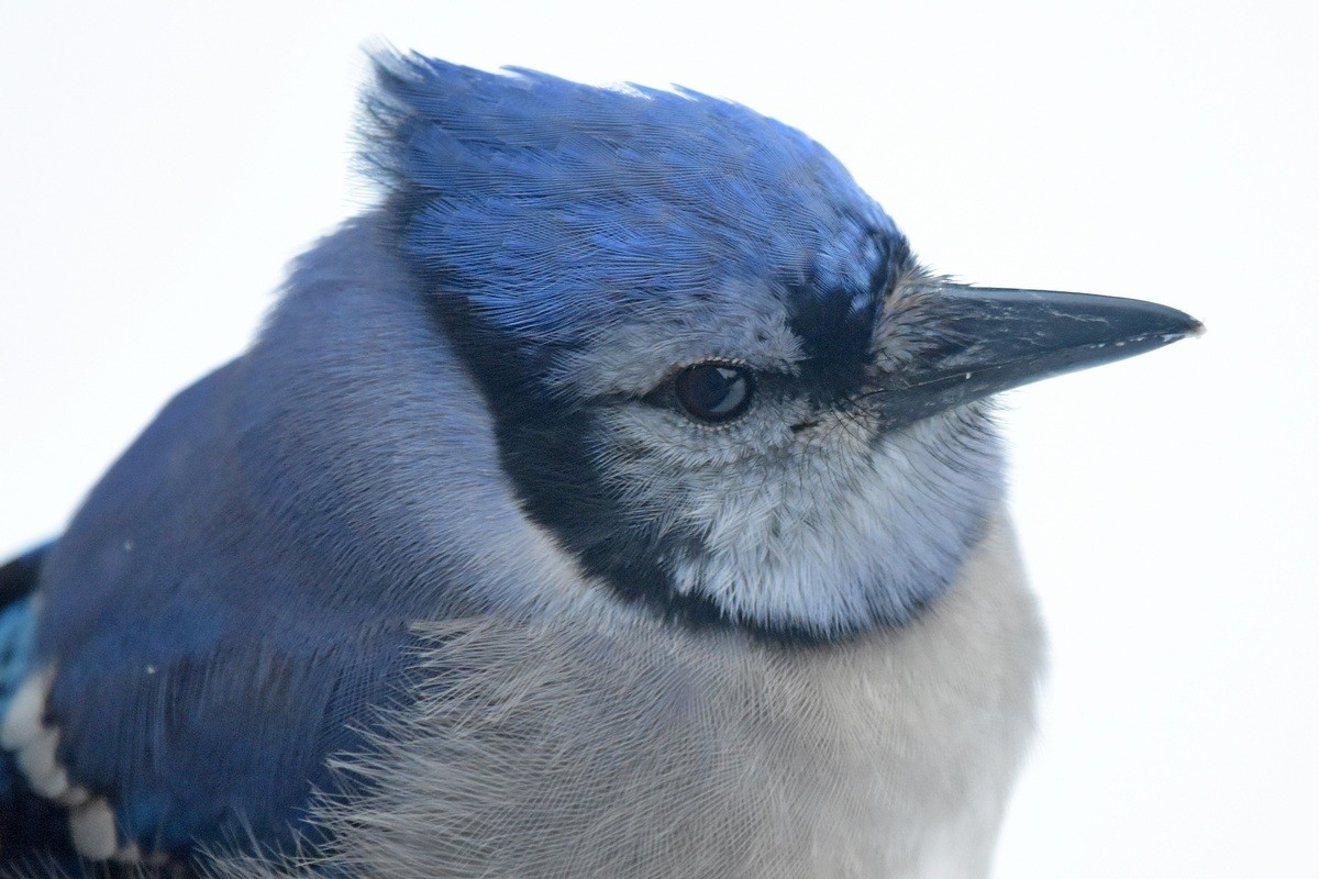 Bluejay bird.