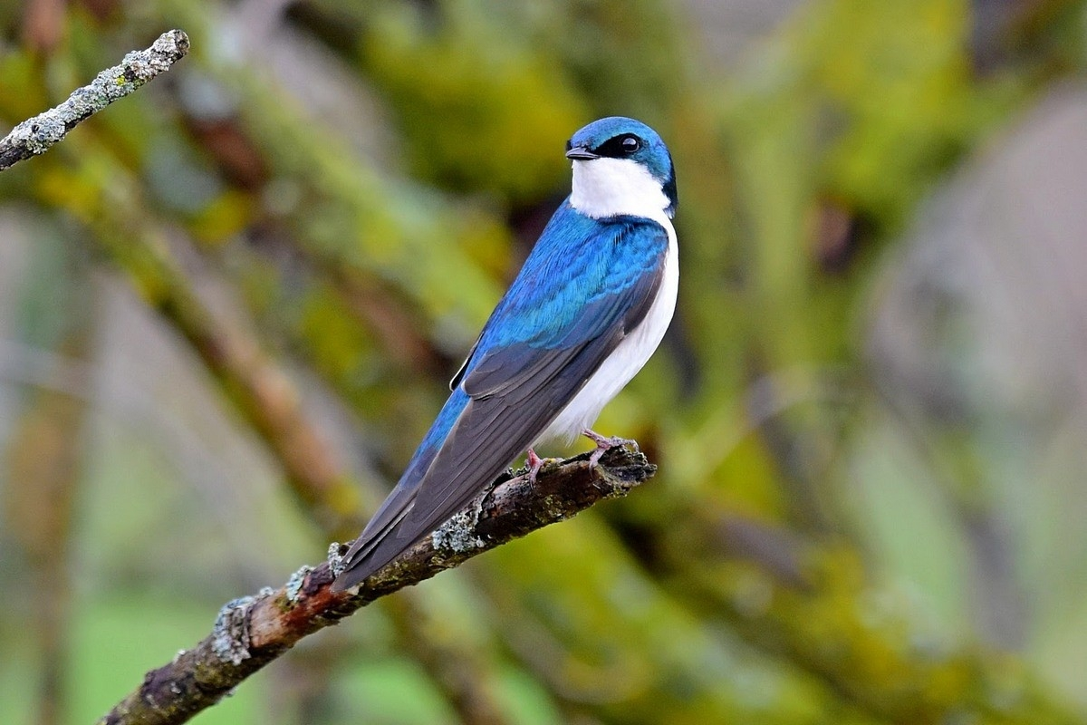 Tree Swallow Bird sitting on branch.