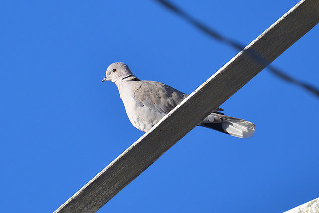 Eur. Collared Dove