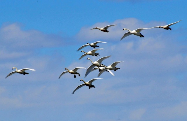 Tundra Swans by JT